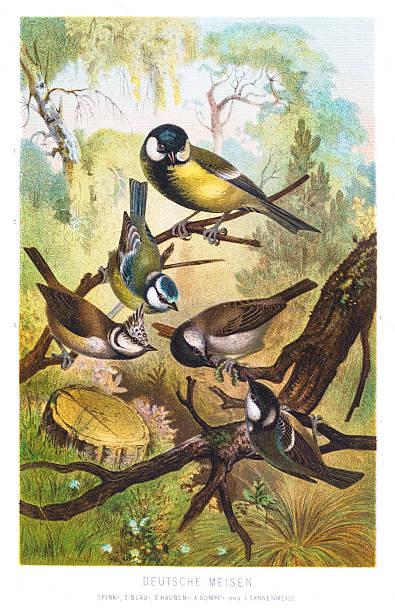 tit chickadees illustration 1882 - bird watching stock illustrations, clip art, cartoons, & icons