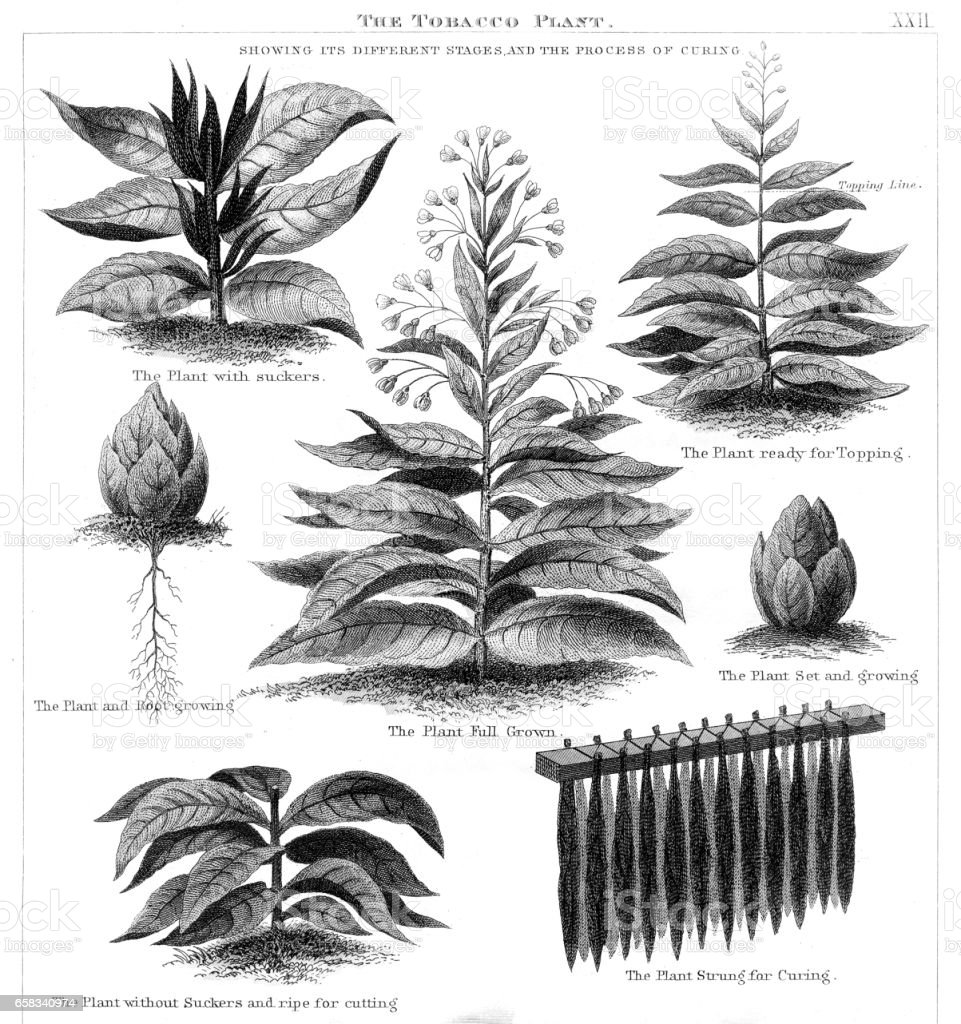 Tobacco plant engraving 1873 vector art illustration