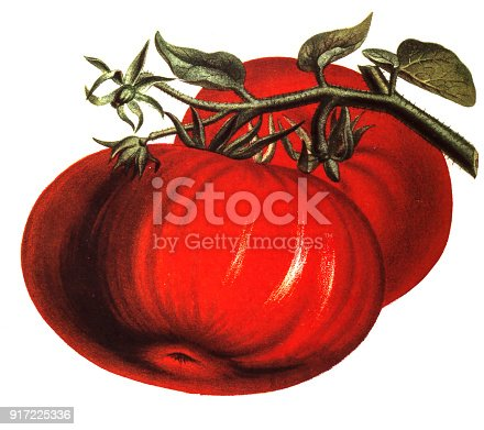 illustration of a Tomatoground,