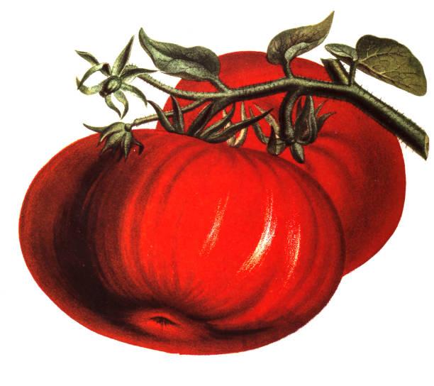 Tomato illustration of a Tomatoground, tomato stock illustrations