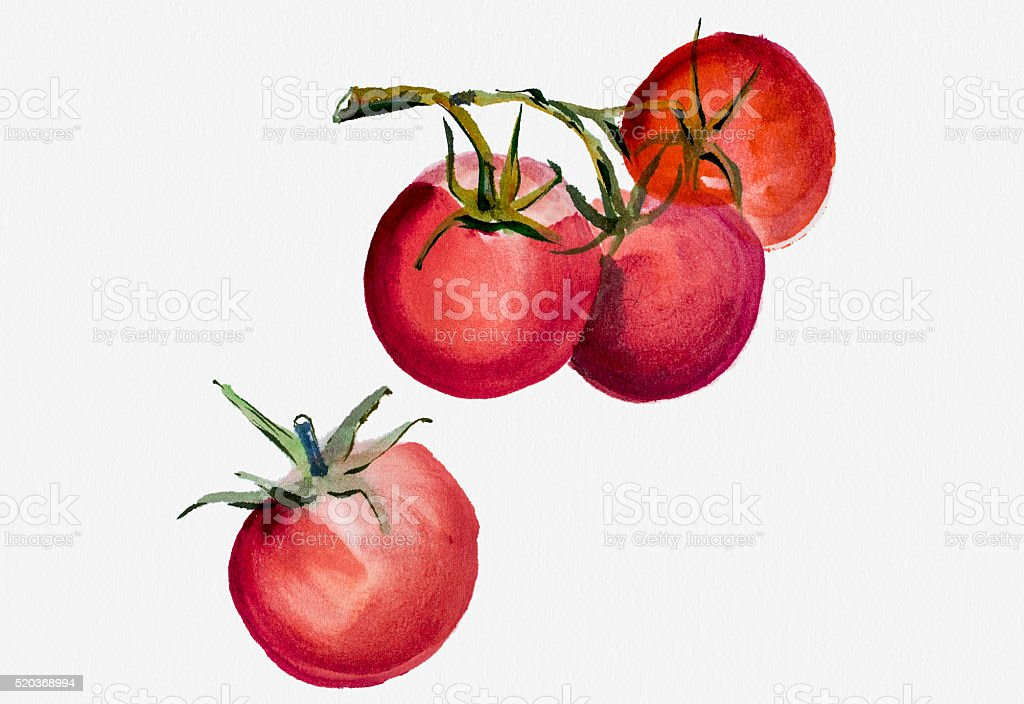 Tomatoes Watercolor painting vector art illustration