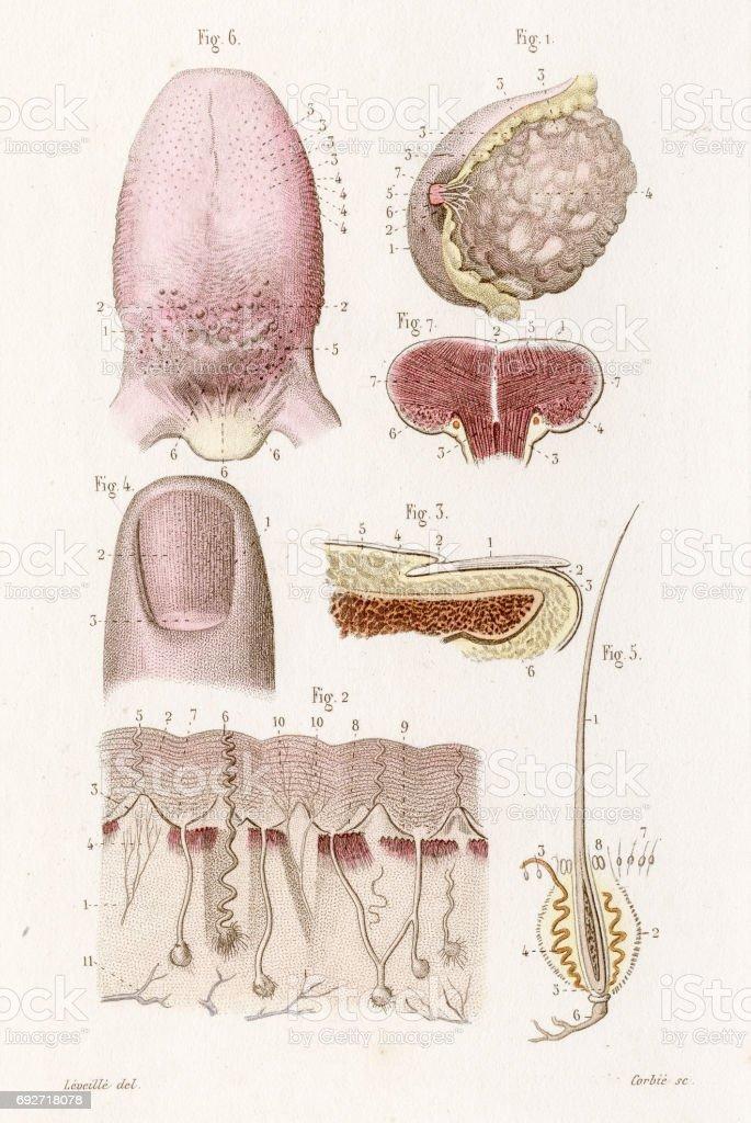 Ilustración de Lengua Pulgar Anatomía Grabado De 1886 y más banco de ...