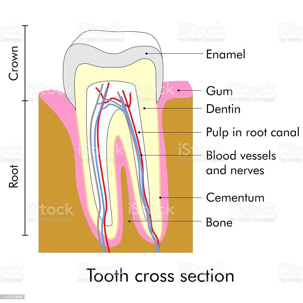Zahn-Abschnitt – Vektorgrafik
