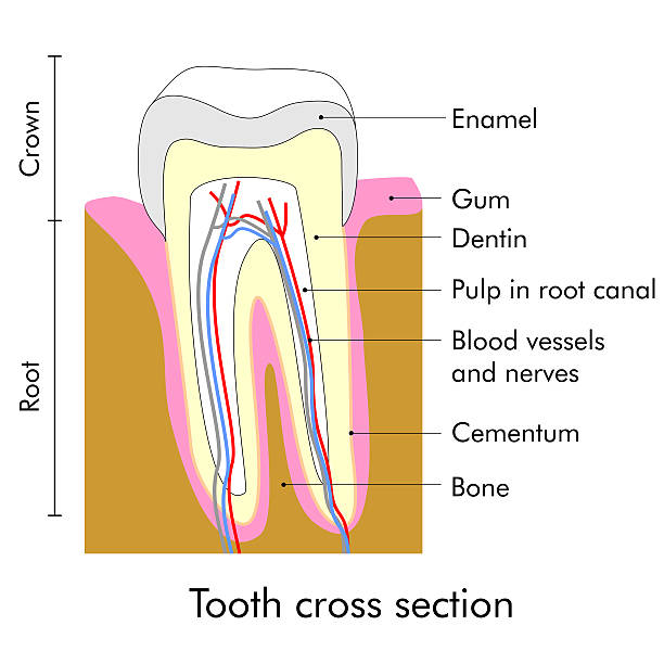 stockillustraties, clipart, cartoons en iconen met tooth section - wortelkanaal