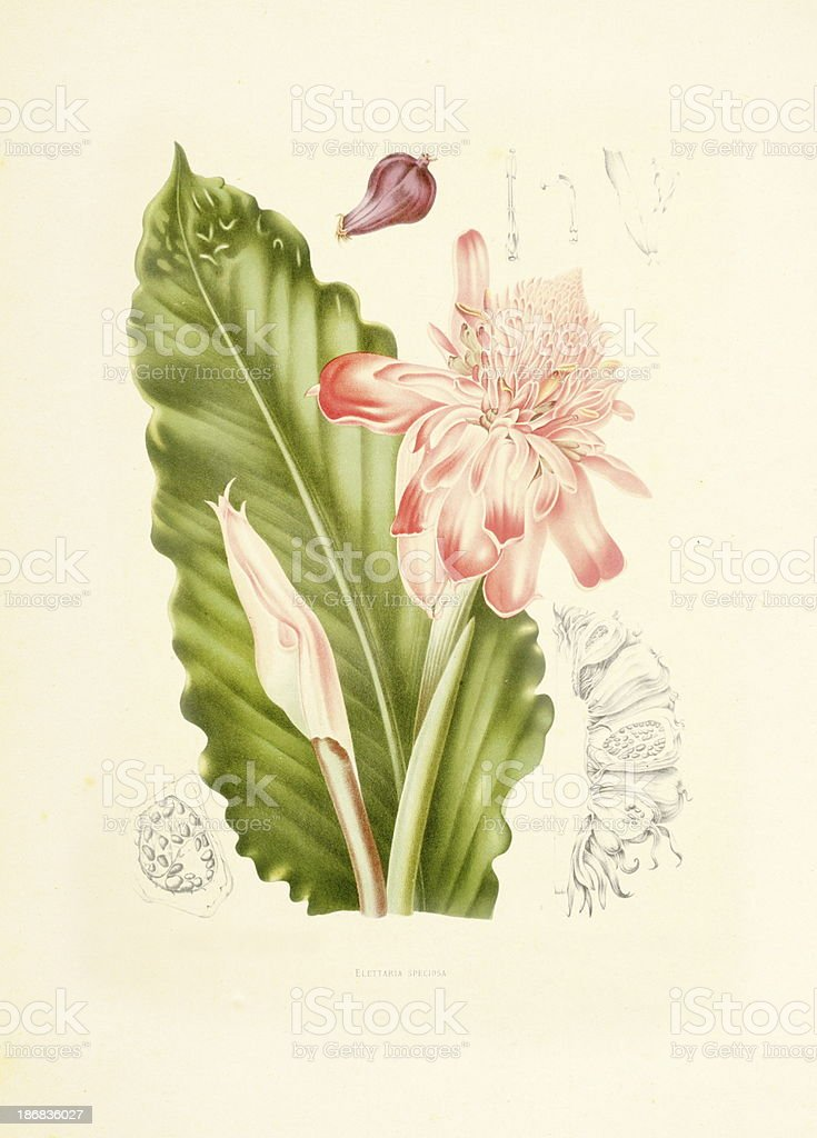 Torch ginger | Antique Plant Illustrations royalty-free stock vector art