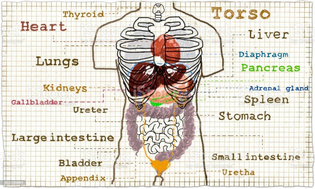 Ilustración de Anatomía Interna Del Torso y más banco de imágenes de ...