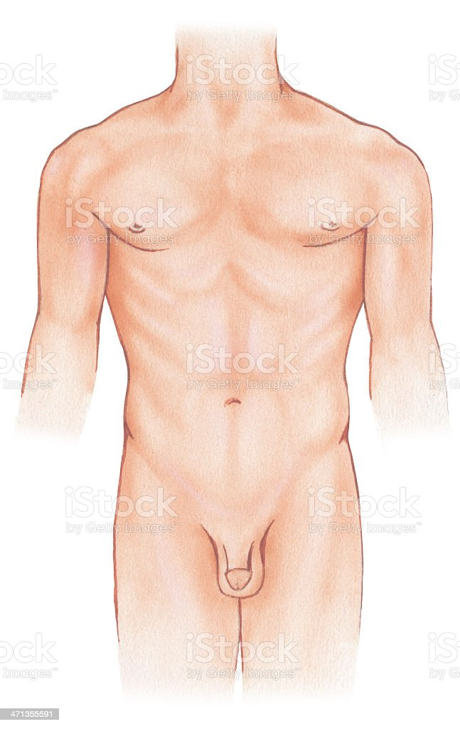 Torso - Male, Frontal View vector art illustration