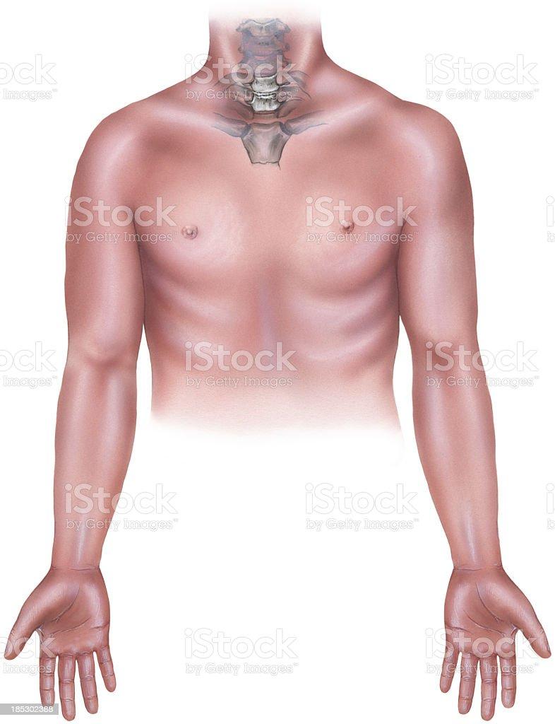 Ilustración de Torso Masculino Con Cervicle Cuello Los Huesos ...