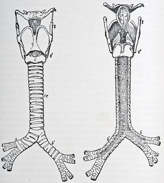 trachea - autopsy stock illustrations, clip art, cartoons, & icons