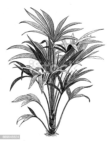 Illustration of a Trachycarpus fortunei (Chamaerops excelsa)