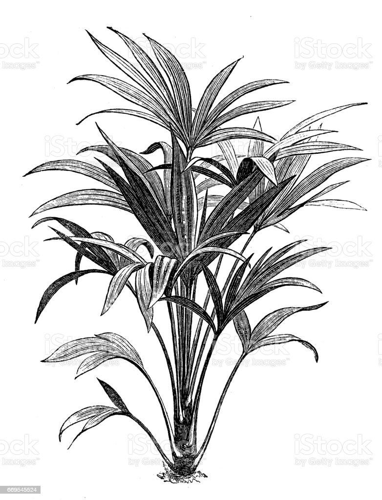 Trachycarpus fortunei (Chamaerops excelsa) vector art illustration