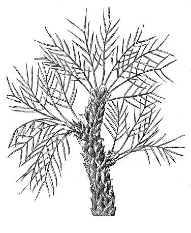 Tragacanth gum tree (Astragalus gummifer)