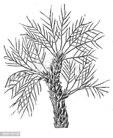 istock Tragacanth gum tree (Astragalus gummifer) 606218126