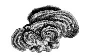 Illustration of a Trametes versicolor – also known as Coriolus versicolor and Polyporus versicolor