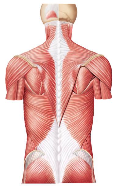 M. Trapezio Músculos do dorso(costas) human muscle stock illustrations