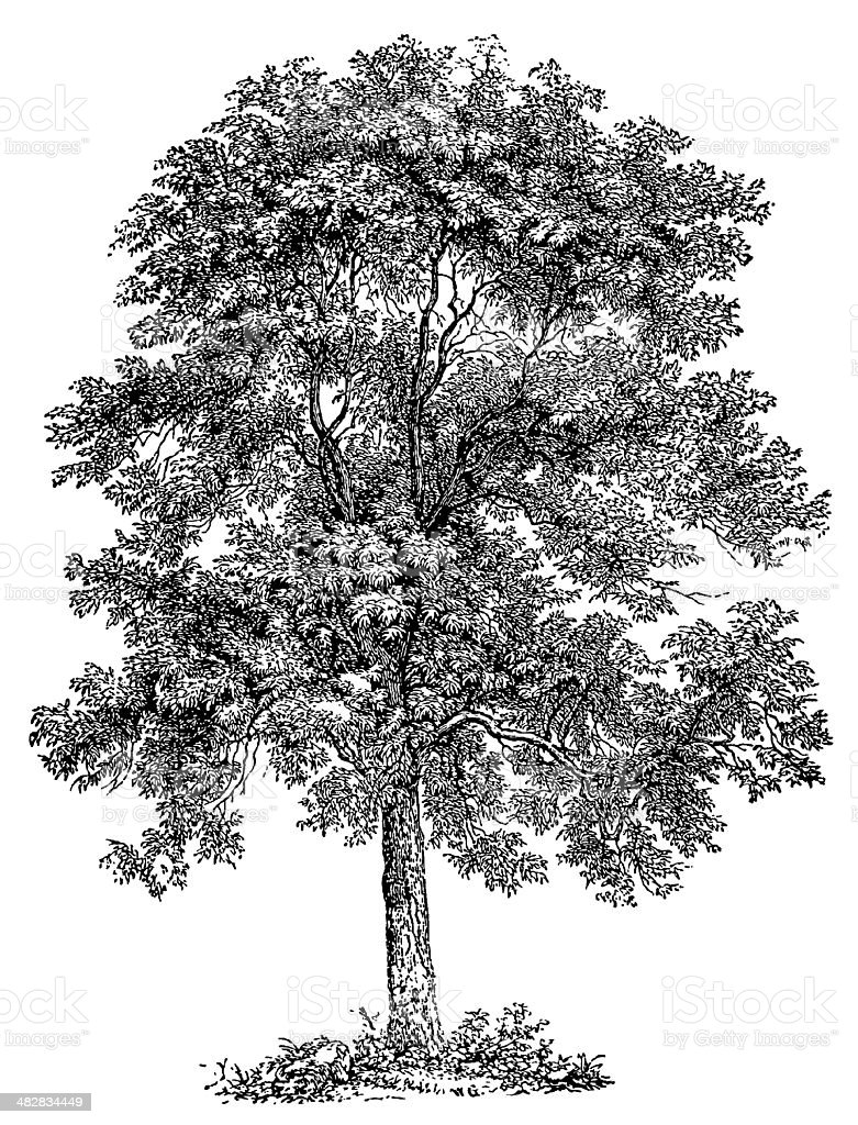Tree royalty-free tree stock vector art & more images of 19th century