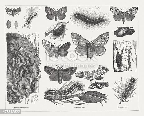 Tree pests (Moths): Oak processionary moth (Cnethocampa processionea, or Thaumetopoea processionea) with a. caterpillar, p. pupa, c. moth, d. detail of a cocoon ball (lleft vertical row); Gypsy moth (Liparis dispar, or Lymantria dispar) with a.  male, b. female, c. hermaphrodite moth (right: male, left: female), d. pupa, e. caterpillar, before the last molt (center, top); Pine-tree Lappet (Gastropacha pini, or Dendrolimus pini) with a. male moth, b. caterpillar, c. cocoon, d eggs, e. death caterpillar with cocoon balls of Microgaster nemorum (center, bottom); Black arches (Liparis monacha, or Lymantria monacha) with a. caterpillar, b. two cocoons on a bark piece, young caterpillars, and a pupa, c. male, d. female moth (right vertical row). Woodcut engraving, published in 1878.
