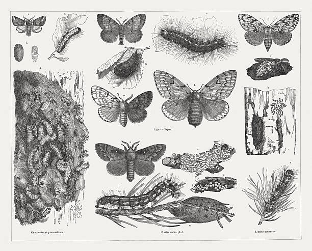 stockillustraties, clipart, cartoons en iconen met tree pests (moths), wood engravings, published in 1878 - zijdeworm