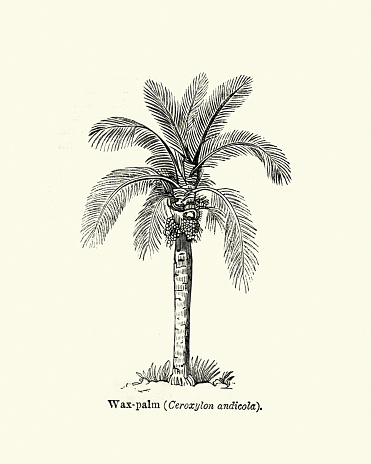 Vintage engraving of a Trees, Wax Palm tree 19th Century engraving. Ceroxylon is a genus of flowering plant in the family Arecaceae, native to the Andes in Venezuela, Colombia, Ecuador, Peru, and Bolivia, known as Andean wax palms.