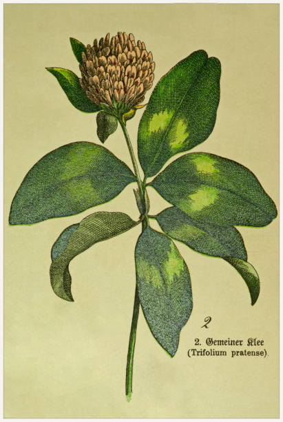Trifolium pratense - Cropped from Victorian style botanical lithographs book. Munich 1880-1889,  Germany. Cropped from Victorian style botanical lithographs book. Munich 1880-1889,  Germany. 1880 1889 stock illustrations
