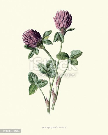 Vintage engraving of Trifolium pratense, the red clover, is a herbaceous species of flowering plant in the bean family Fabaceae