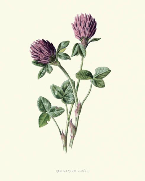 Trifolium pratense, red clover, botanical flower print vector art illustration