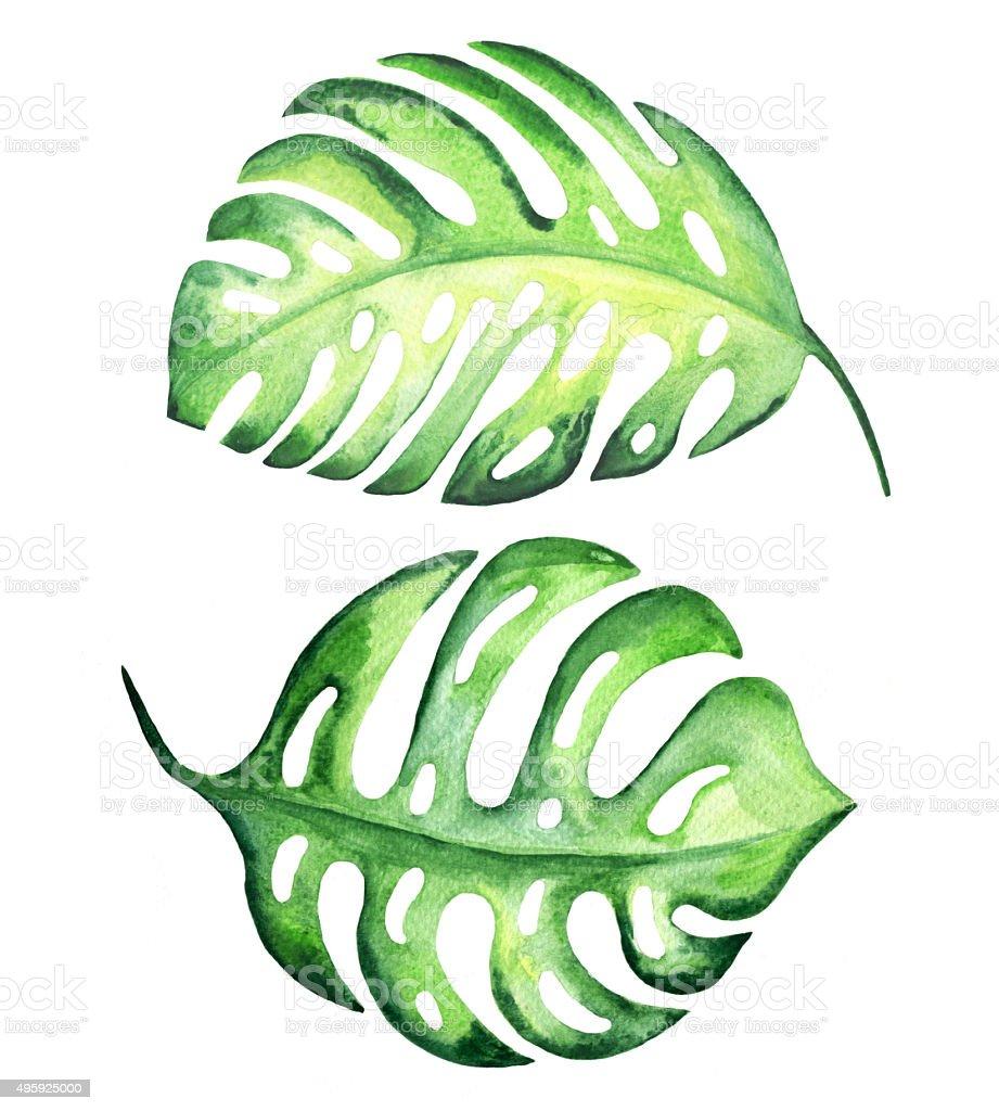 Hojas monstera Tropical - ilustración de arte vectorial