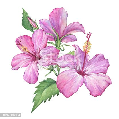 Tropical pink Hibiscus flowers (also known as rose of Althea or Sharon, rose mallow) Watercolor hand drawn painting illustration isolated on a white background.