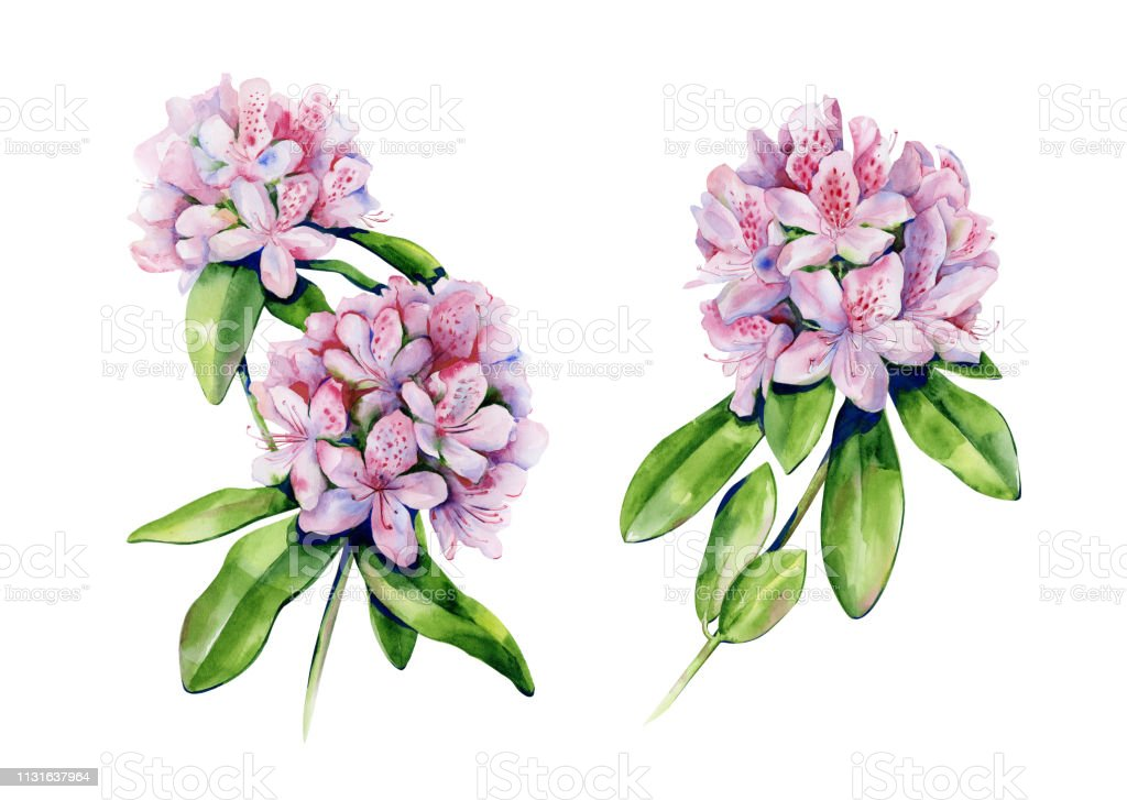 Tropical rhododendron flower watercolor isolated on white. Interior...