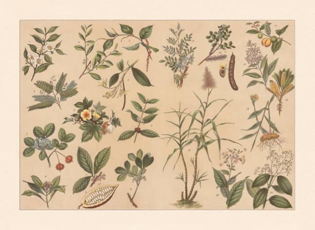 illustrazioni stock, clip art, cartoni animati e icone di tendenza di tropical useful plants, chromolithograph, published in 1897 - illustrazioni di canna da zucchero