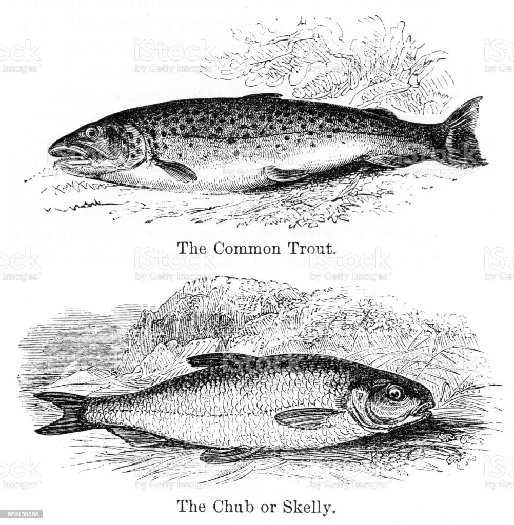 Trout and chub engraving 1878 vector art illustration