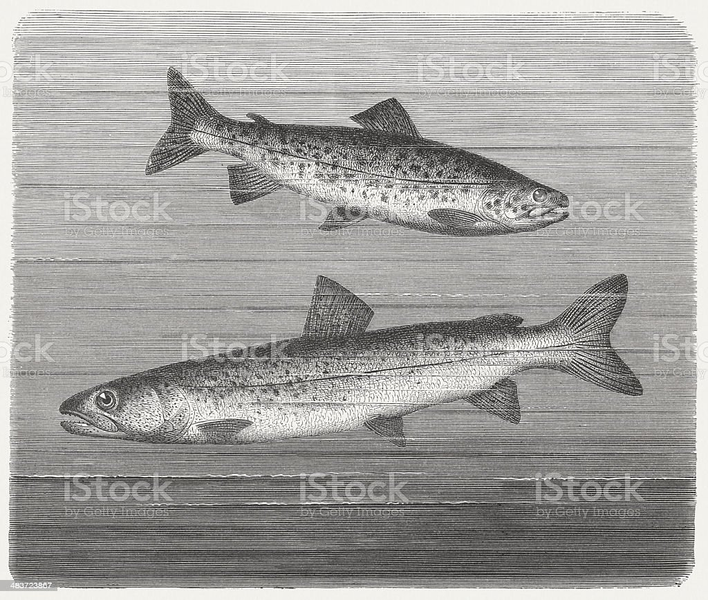 Trout and Huchen vector art illustration