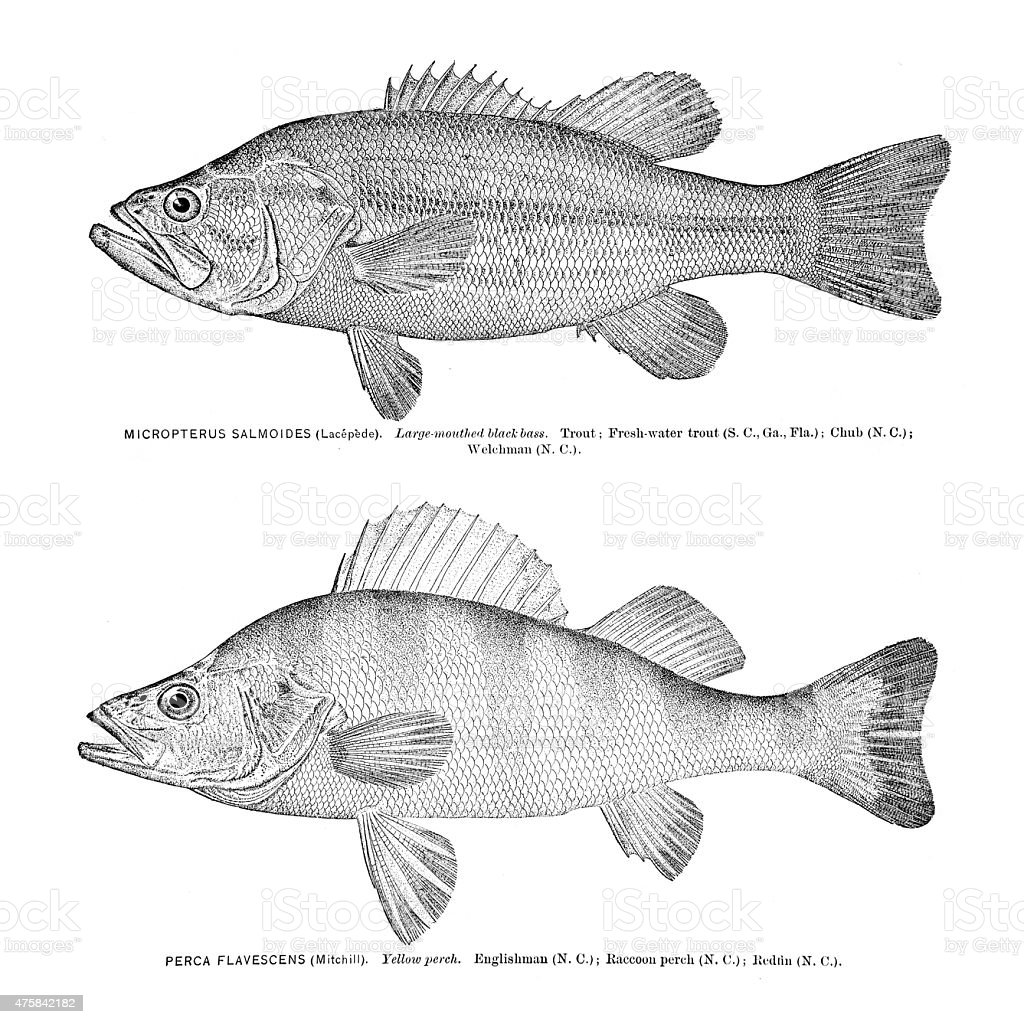 Trout And Yellow Perch Engraving Stock Vector Art & More Images of ...
