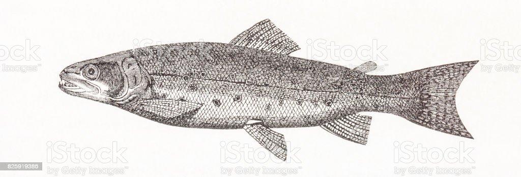 Trout (Salmo trutta fario) antique engraving vector art illustration
