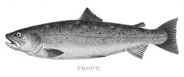 illustrazioni stock, clip art, cartoni animati e icone di tendenza di trota incisione 1802 - trout