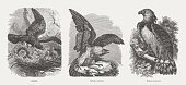 istock True eagle, Sea eagle, Harpy eagle, wood engravings, published in 1893 1214462426