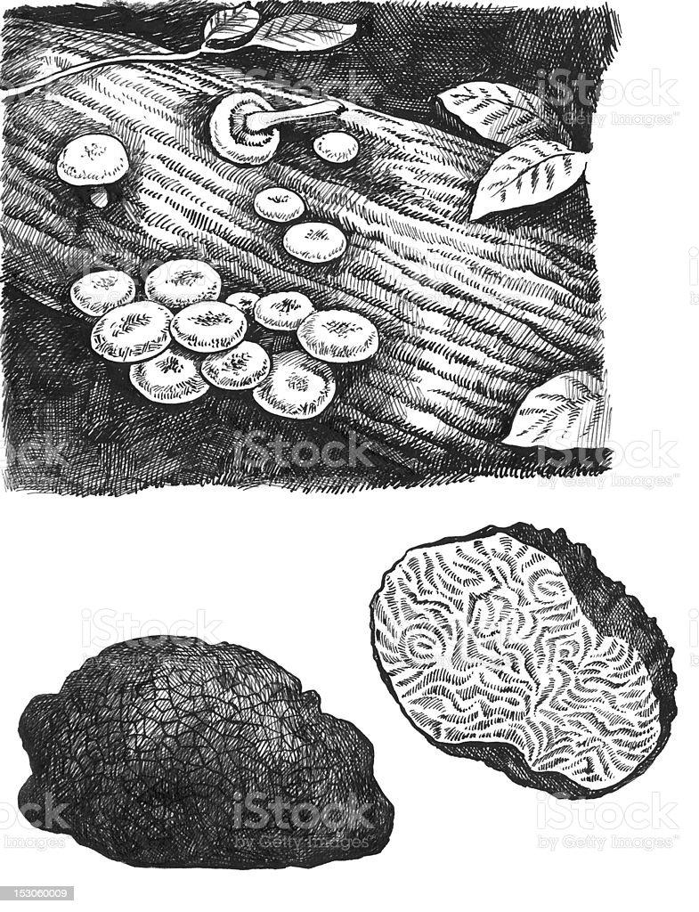 Truffle mushroom and agaric honey vector art illustration