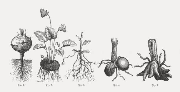 tuberous plants, wood engravings, published in 1897 - root vegetable stock illustrations