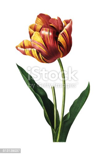High resolution illustration of a tulip, isolated on white background. Engraving by Pierre-Joseph Redoute. Published in Choix Des Plus Belles Fleurs, Paris (1827).