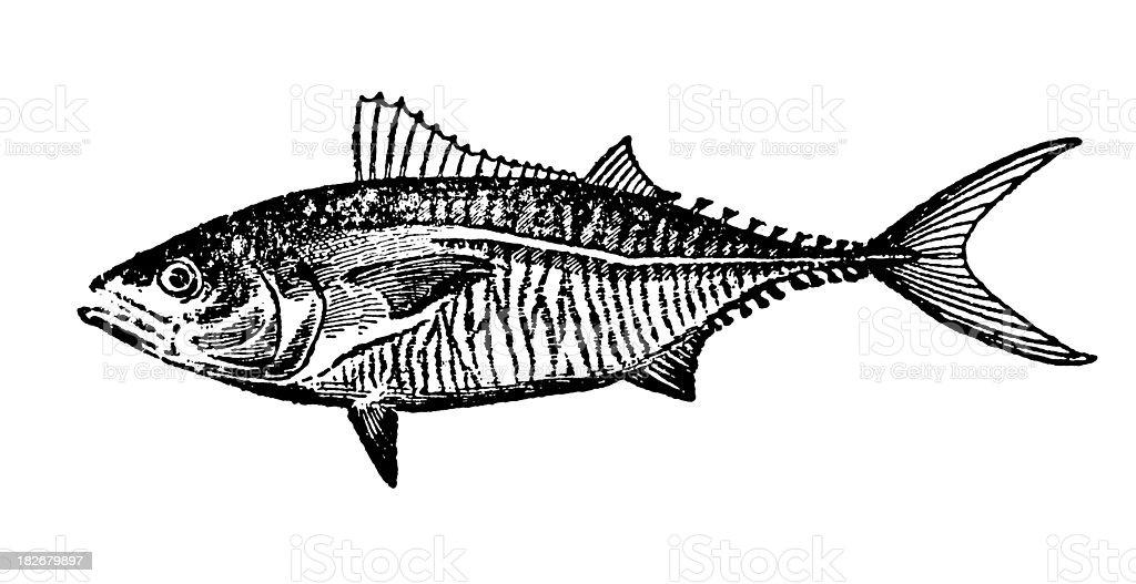 Tuna | Antique Animal Illustrations royalty-free stock vector art