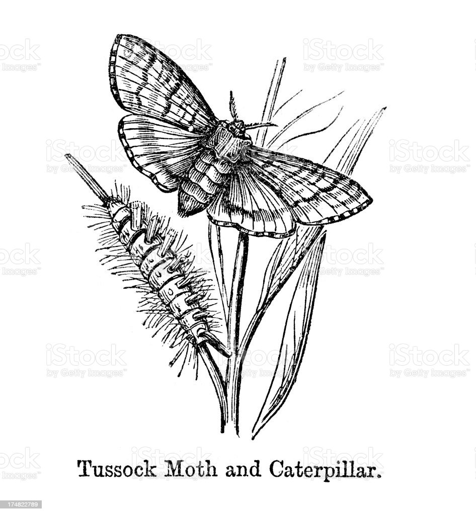 Tussock Moth and Caterpillar royalty-free stock vector art