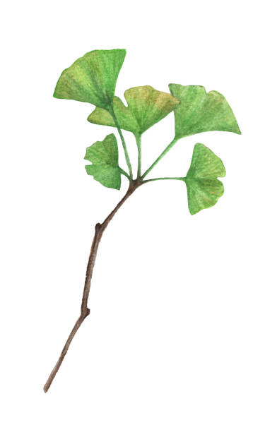 Twig of a ginkgo leaves isolated on white background, watercolor illustration. Twig of a ginkgo leaves isolated on white background, watercolor illustration. ginkgo stock illustrations