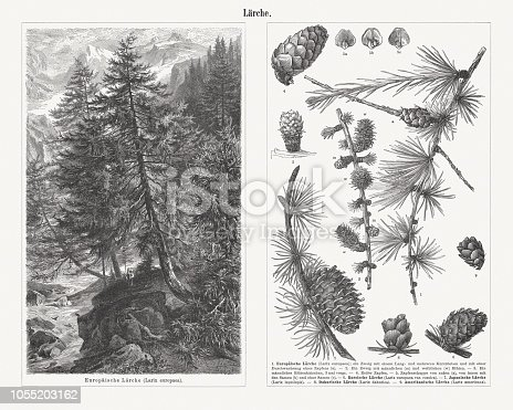 Larch, left side: (Larix decidua, or Larix europaea). Right side: 1) European larch (Larix decidua), twig with one long shoot and several short shoots; 2) Twig with male (m) and female (w) blossoms; 3) Male flower catkin; 4) Ripe cone; 5) Cone scales from the outside (a), from the inside with the seed (b) and without seed (c); 6) Russian larch (Larix sibirica, or Larix rossica); 7) Japanese larch (Larix kaempferi, or Larix leptolepis); 8) Dahurian larch (Larix gmelinii, or Larix dahurica); 9) American larch (Larix laricina, or Larix americana). Wood engravings, published in 1897.