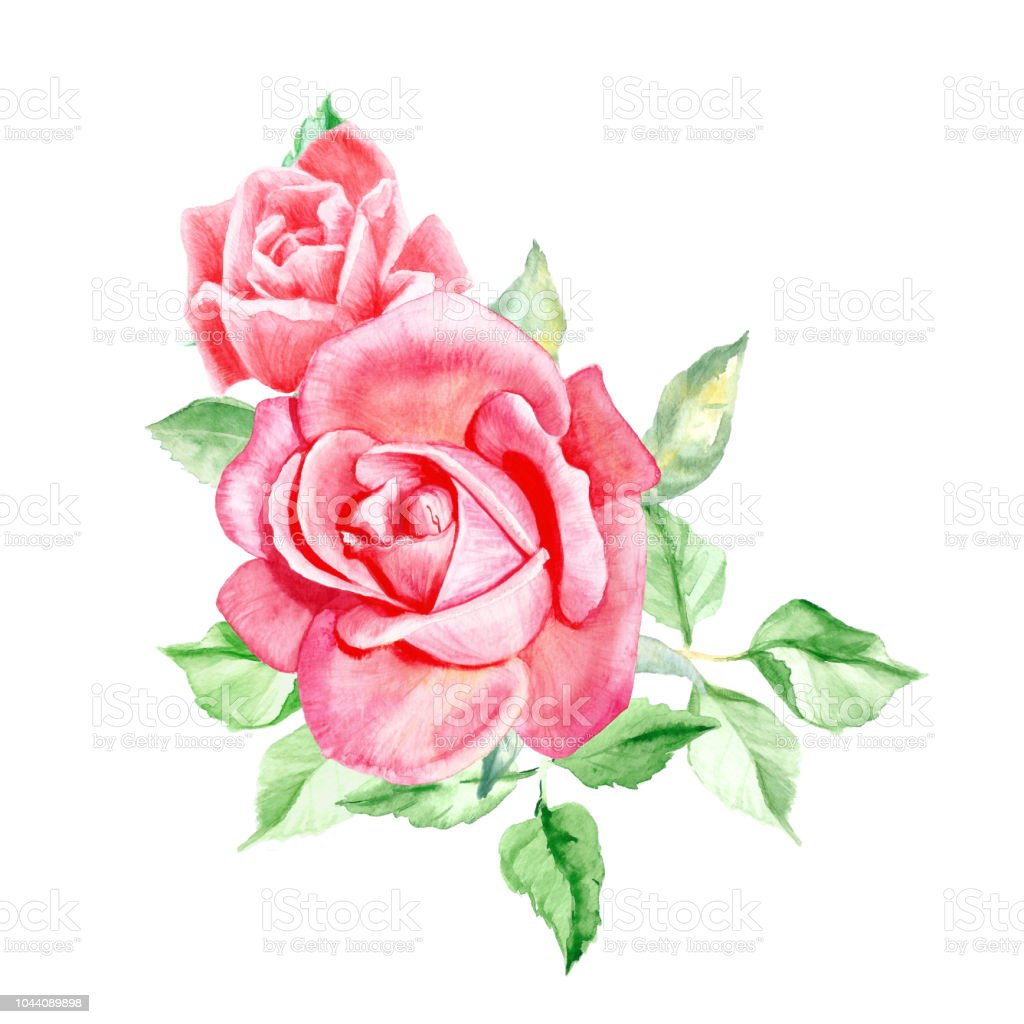 Two Beautiful Pink Roses With Leaves Watercolor Flower Painting