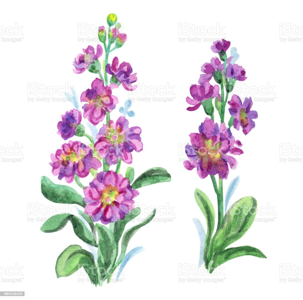 Two bright pink gillyflowers royalty-free two bright pink gillyflowers stock vector art & more images of cut out