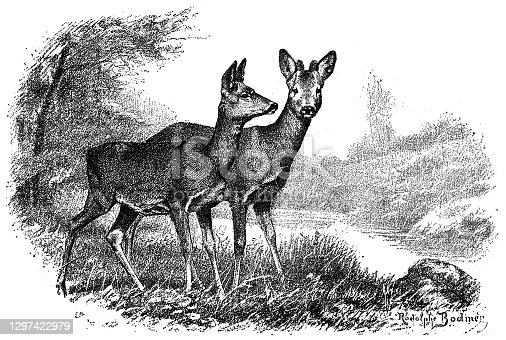 istock Two deer standing on the meadow 1297422979