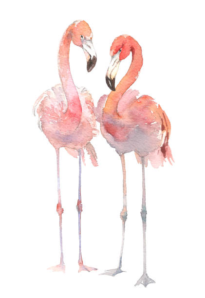 ilustrações de stock, clip art, desenhos animados e ícones de two flamingo isolated on white background. watercolor hand drawn illustration. rastra. - bills couple