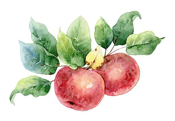 illustrazioni stock, clip art, cartoni animati e icone di tendenza di due mele rosse acquerello - mika