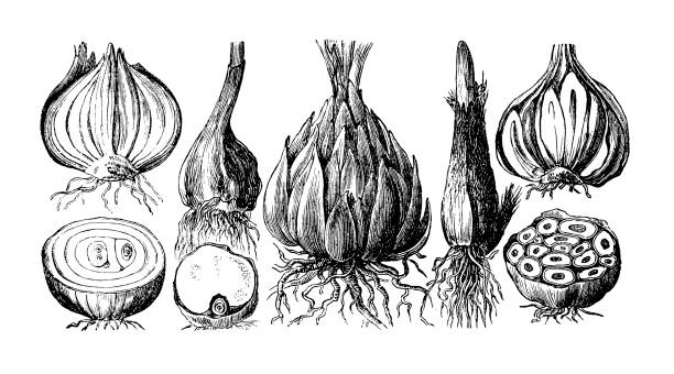 illustrazioni stock, clip art, cartoni animati e icone di tendenza di type of onion - aglio cipolla isolated