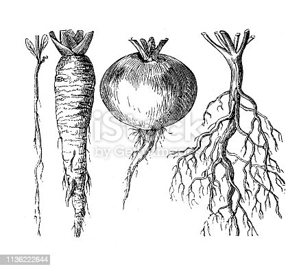 Illustration of a Types of roots